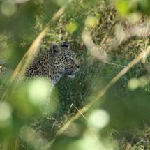 026_botswana_2014_marcus_bohler_botpic2014_leopard3