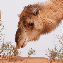 057_marokko_2014_elmar_schaal_marbed030414_kamel