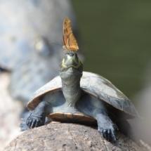 11_23-Punkte_Peru_2016_Frank_Schonnop_PERINK290616_Schildkrötenschmetterling