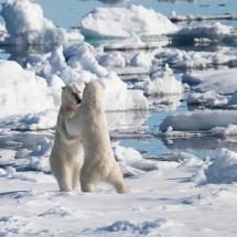 SPI_2015_Marina_Leder_SPIFO-19062015_Kämpfende_Eisbären