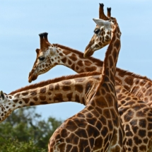 Giraffentrio